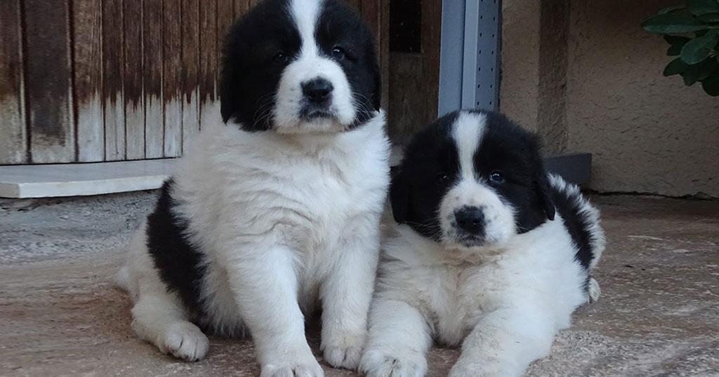 Αυτές είναι οι 6 ελληνικές ράτσες σκύλων άγνωστες στο ευρύ κοινό