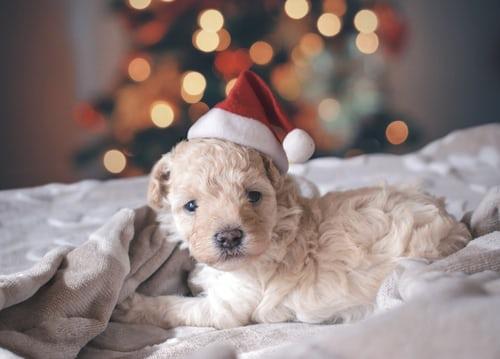 Πρώτα Χριστούγεννα με το σκυλάκι σας; Τι πρέπει να προσέξετε
