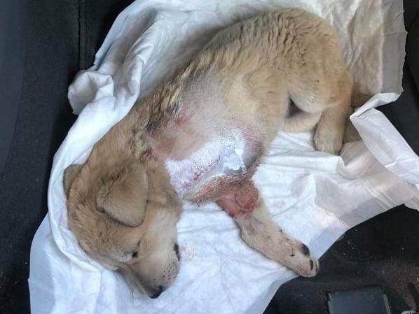 Έδεσσα: Κουταβάκι χτυπήθηκε πολύ από αυτοκίνητο και ακρωτηριάστηκε- Έκκληση για οικονομική βοήθεια στο χειρουργείο και υιοθεσία