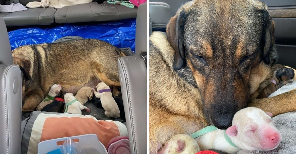 Πέρασαν 12 ώρες στο αυτοκίνητο για να γεννήσει το σκυλί τους. Ήταν το μόνο μέρος με ζέστη